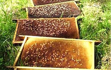 Hagelschot bijen